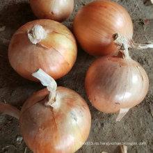 Calidad estándar exportada de la cebolla amarilla fresca china