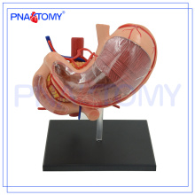 PNT-0458 Hot vente modèle de biologie de l'estomac humain