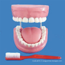 Enseignement médical de soins dentaires Modèle de dents humaines (R080108)