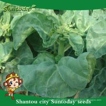 Suntoday vegetableF1 Organic Chinese Broccoli Whiter Semillas de brócoli Kailaan híbridas (35003)