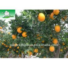 Frische Nabel Orange