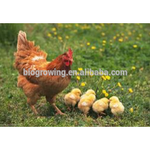 Probiotika von Kupfersulfat für Geflügelfutterzusatzstoffe
