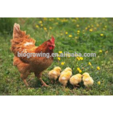 probiotics of copper sulphate for poultry feed additive