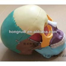 Modelo de crânio humano de tamanho natural ISO com ossos coloridos, Crânio colorido