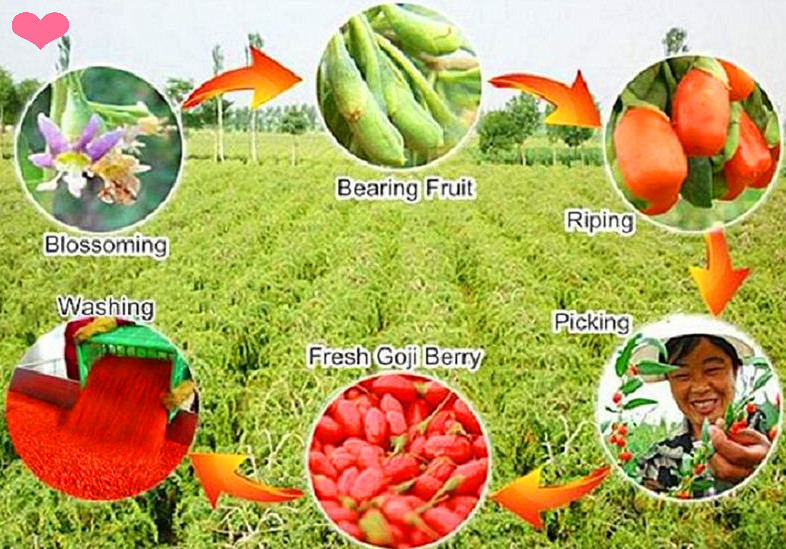 Ningxia Goji berry growing circle