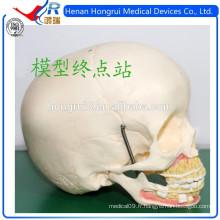 Modèle de crâne médical ISO pour enfants