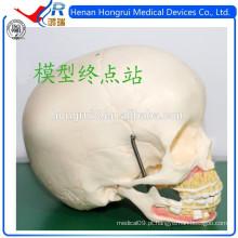 Modelo de crânio médico ISO das crianças