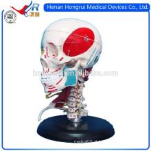 Modelo de crânio adulto detalhado ISO com Colores que indica músculos e ossos