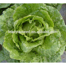 MLT07 Licui high resistant to heat chinese lettuce vegetable seeds