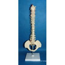 Hochwertige menschliche Wirbelsäule Modell mit Becken (r020718)