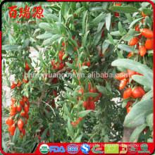 Wo Goji Saft wächst Goji Beere Pflanze Goji Beere Sitesi kaufen