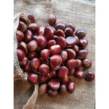 Chestnut Hot Selling im Nahen Osten