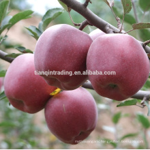 China fresh Huaniu apple of Guansu origin