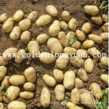 Fournir des pommes de terre fraîches de haute qualité