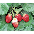 Strawberry Extract Brightening Eyes and Nourishing The Liver