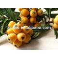 extracto de hierbas extracto de hoja de níspero ácido ursólico