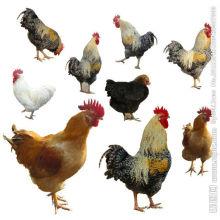 Avicultura compuesta de aditivos de aves de corral