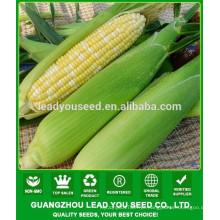 CO04 Gantian no.3 maturidade precoce op sementes de milho doce amarelo para venda