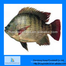 new caught frozen tilapia for fish