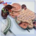 PNT-0450 Human Digestive system model the anatomical model of digestive