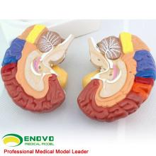 BRAIN11(12409) Advanced Medical Anatomy 2-Parts Cross Section Human Medical Brain Model , Anatomy Models > Brain Models
