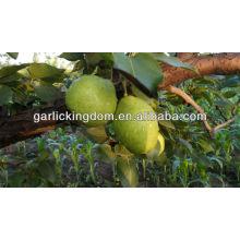 Vender 2013 Early Su Pear