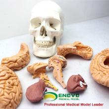 SKULL01 (12326) Cerveau de Science Médicale Crâne Amovible Crâne Anatomique Éducation Modèles