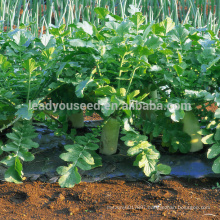 R03 Nanpangzhou late maturity white radish seeds, op seeds for planting