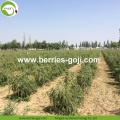 Factory Supply Fruit Nutrition Trockenfrüchte Goji Beeren