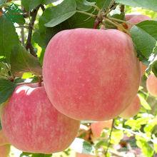 Chinesischer frischer Fuji-Apfelbauernhof frische süße Fuji-Äpfel