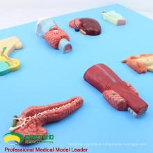 VISCERA14(12551) Human Embryology Organs of the Endocrine Model