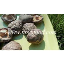 Classer un champignon Shiitake lisse végétal séché naturel
