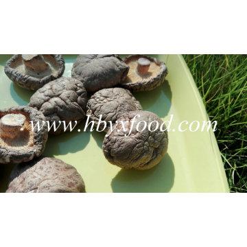Calificación de un hongo shiitake suave de vegetales secos naturales