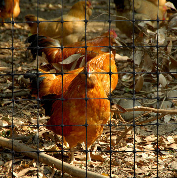 Farm Chicken Net
