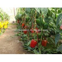 SP28 Lunmei madurez temprana al aire libre siembra semillas de pimiento dulce, campo abierto plantando semillas