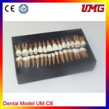 Modelo de estudio de anatomía dental en venta