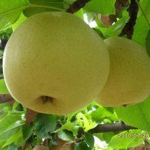 Buena calidad de pera dorada fresca china
