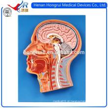 ISO 3-D Secção Mediana do Modelo de Cabeça Humana