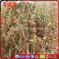 High export rate dried goji berries goji goji berry with low price