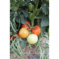 Suntoday детерминантный посадки научные названия овощей F1 гибридных китайские семена томатов(22021)