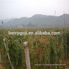 Arbre de plante Goji / Wolfberry / Lycium Barbarum