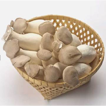 High Nutrition Oyster Mushroom Spawn