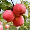 China Wholesale High Quality Competitive Price Red Fresh Fuji Apple