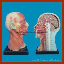 Modèle humain d'anatomie de cavité et de cou humain pour l'éducation