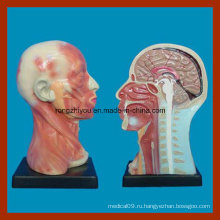 Человеческая головная полость и шея Локальная модель анатомии для образования