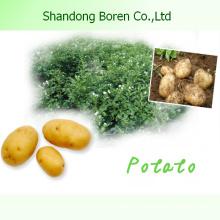 Shandong Nova Colheita De Alta Qualidade Batata Fresca