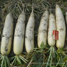 HR03 Dupo blanco frío resistente OP semillas de rábano en semillas de hortalizas