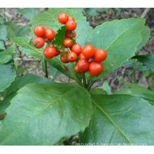 Herbes chinoises Sarcandra Glabra extrait 10: 1