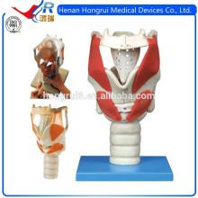 Modèle anatomique avancé du Laryngé ISO