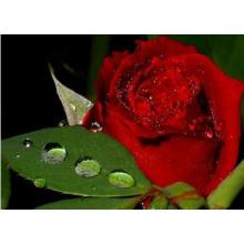 100% Органический экстракт розы (XT-FL447)